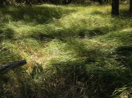 American River Grass