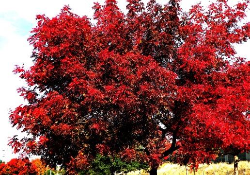 Chinese Pistache Tree Nov, 2012