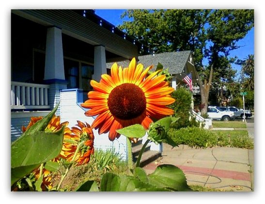 Sunflower in Sacramento