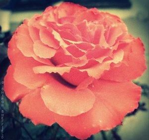 RG rose copyright