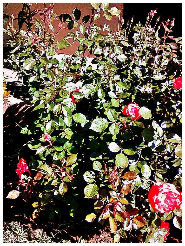 regina's rose bush 2