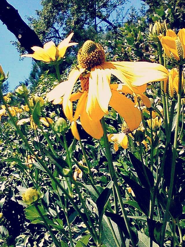 Park Cornflower