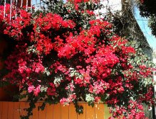 Bougainvillea Tree SF