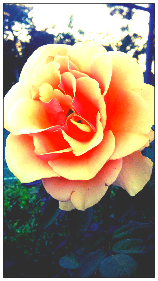 Yellow and orange rose.