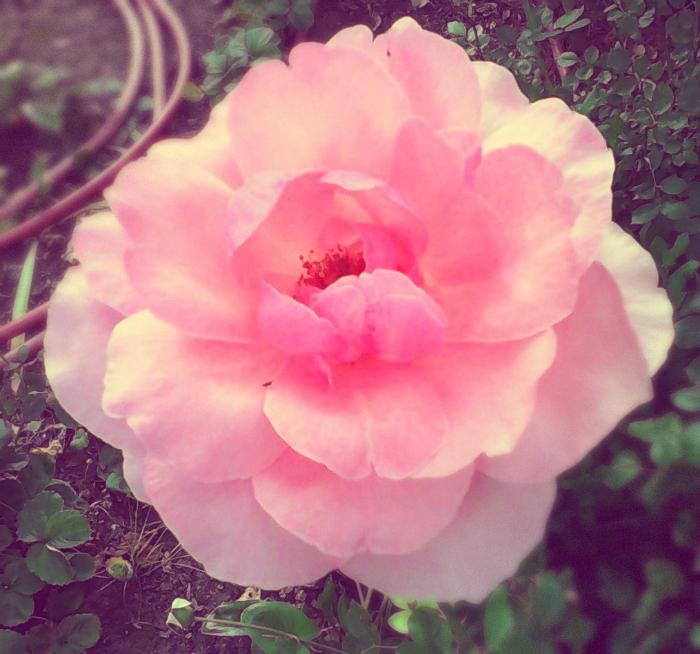 geeselas pink rose