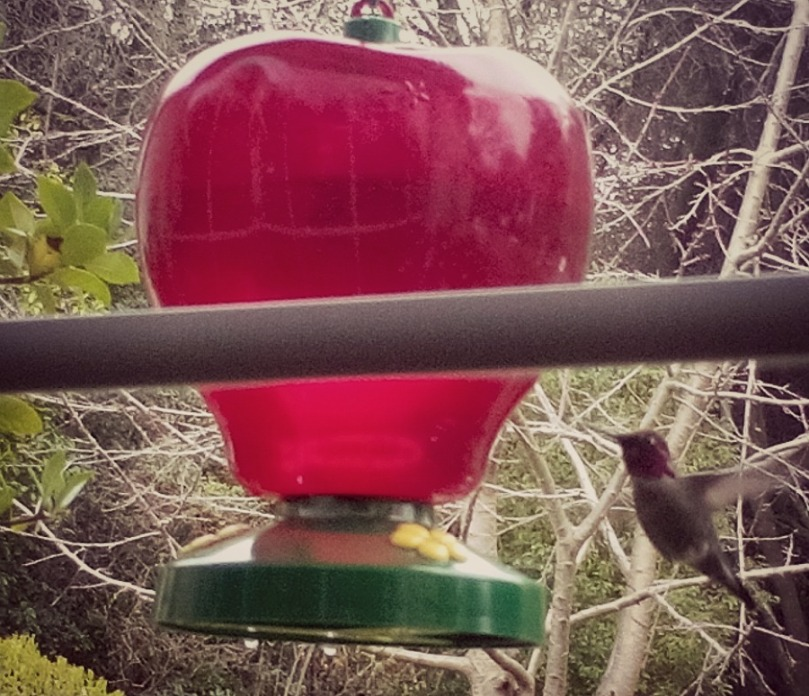 The Hummingbird, this is the male. The female won't come back.