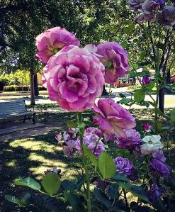 Purplish Pink roses