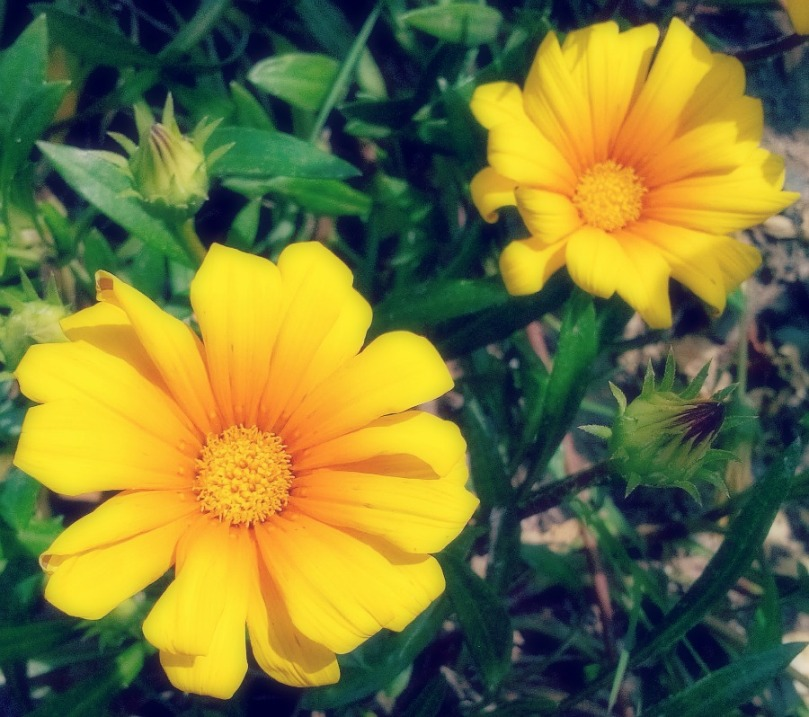 Yellow and Orange daisies