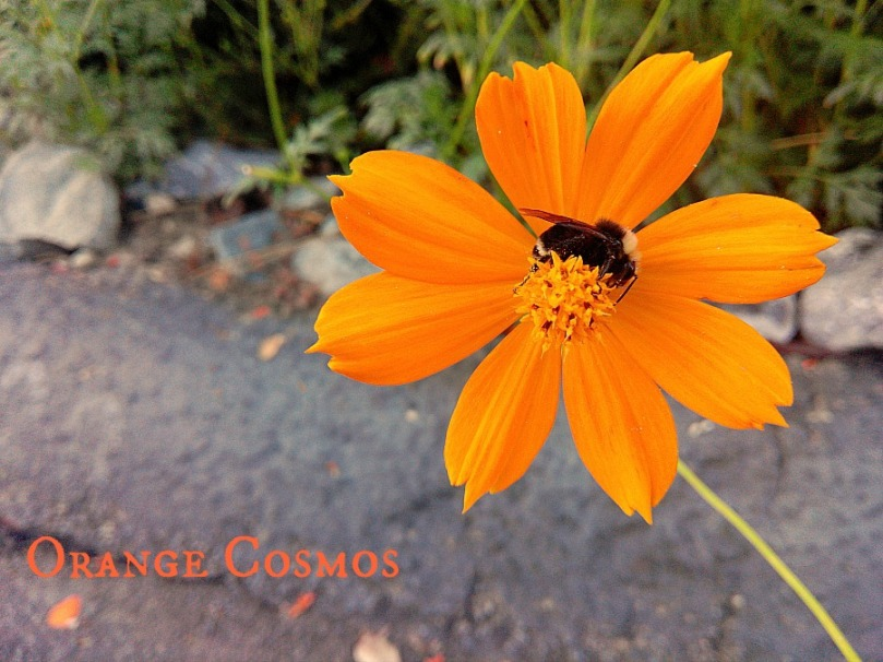 Orange Cosmos Flower 2