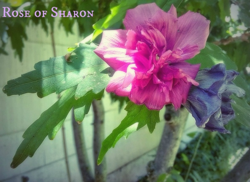 Rose of Sharon 2