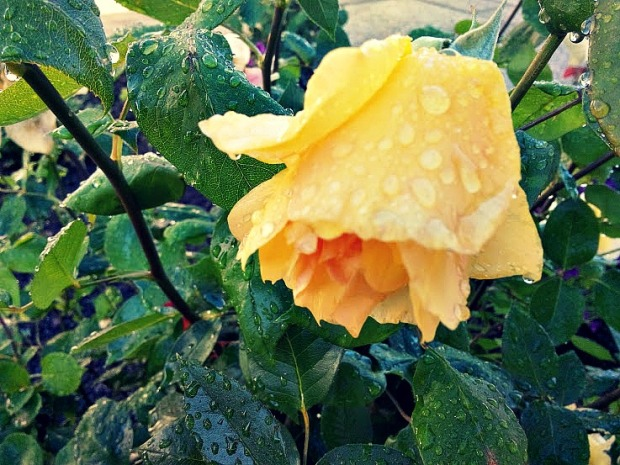 Roses after rain are beautiful.