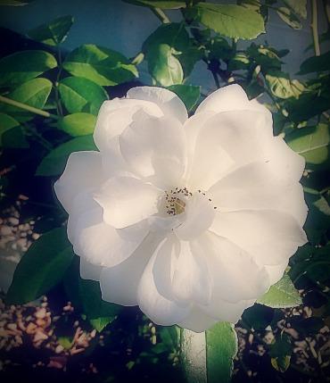 Heirloom Rose.