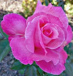 Fuchsia Tea Rose.
