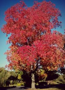 Maple Blaze Tree.