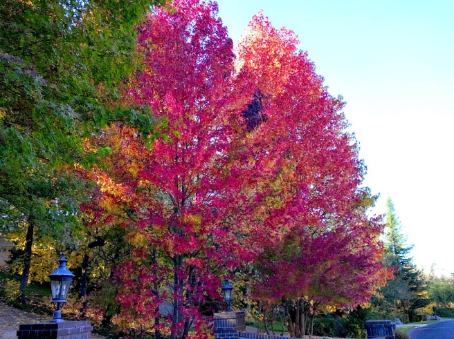 Maple Trees in their beautiful decline.